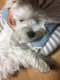 床の上に横たわる小さな茶色と白犬の写真・画像素材[985141]