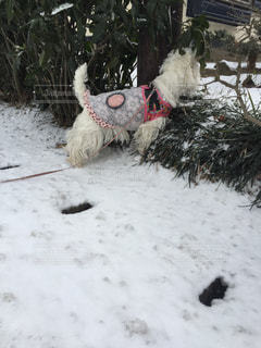 雪で覆われている犬の写真・画像素材[1002559]