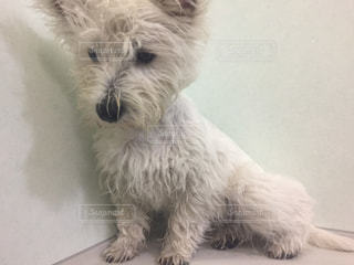 カメラを見て小さな白い犬の写真・画像素材[1002566]