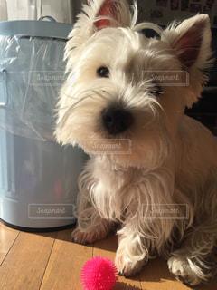 カメラを見て小さな白い犬の写真・画像素材[1006523]