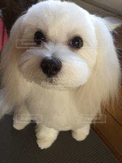 カメラを見て小さな白い犬の写真・画像素材[1031018]