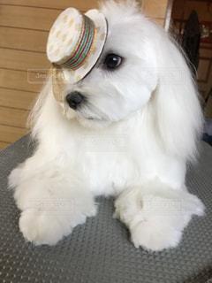 小さな白い犬の写真・画像素材[1202703]