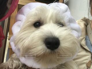 カメラを見て小さな白い犬の写真・画像素材[1208268]