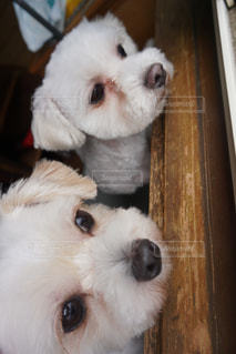 カメラを見て、小さな茶色と白犬の写真・画像素材[1248883]