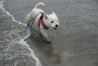 ひもに小さな白い犬の写真・画像素材[1352910]