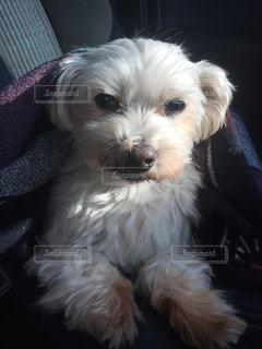 小さな白い犬の写真・画像素材[1458698]