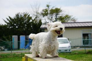 建物の前に小さな白い犬の地位の写真・画像素材[1594905]