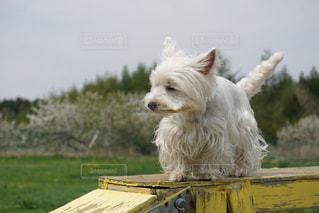 草の中の小さな白い犬立っての写真・画像素材[1594909]