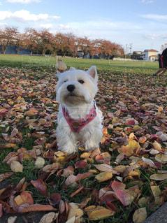 草の中の小さな白い犬立っての写真・画像素材[1612105]