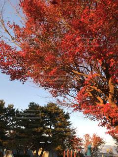 大きな木の写真・画像素材[1620263]