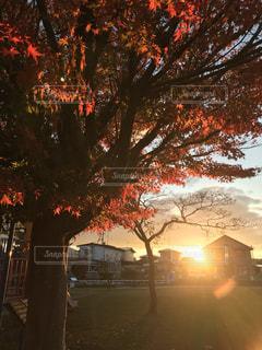 日没の前にツリーの写真・画像素材[1620268]