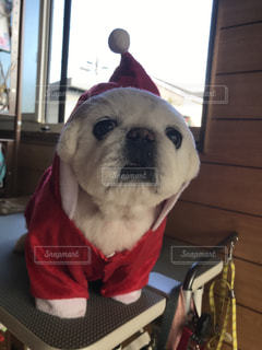 犬,ペキニーズ,サンタさん,お爺ちゃん,白い犬,13歳