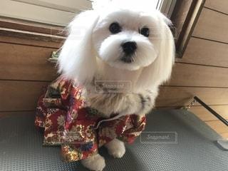 犬,マルチーズ,2歳,オス,白い犬