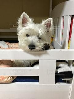 カメラを見て小さな白い犬の写真・画像素材[1657921]