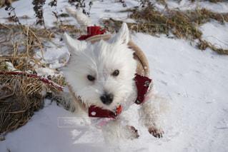 雪で覆われている犬の写真・画像素材[1744879]