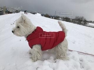雪で覆われている犬の写真・画像素材[1781695]