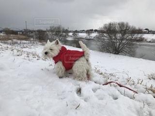 雪で覆われている犬の写真・画像素材[1781696]