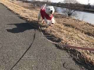 未舗装の道路の上を歩く犬の写真・画像素材[1826435]