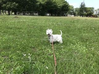緑豊かな野原に立つ小さな白い犬の写真・画像素材[2262600]