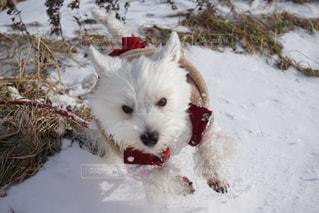 雪の中でフリスビーで遊ぶ茶色と白の犬の写真・画像素材[2813683]