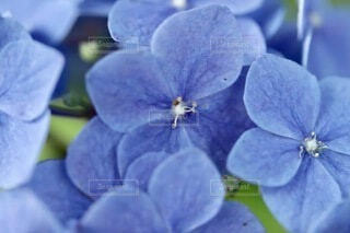 紫陽花のマクロ撮影の写真・画像素材[4922142]