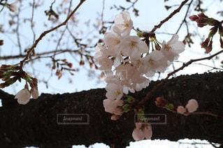 桜の花のアップの写真・画像素材[1867178]