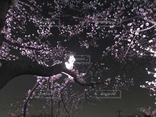 桜,ピンク