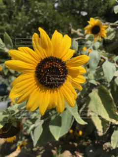 黄色の花の写真・画像素材[1219216]