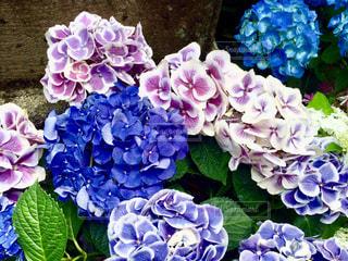 自然,花,屋外,植物,綺麗,あじさい,紫陽花,外,アジサイ,キレイ