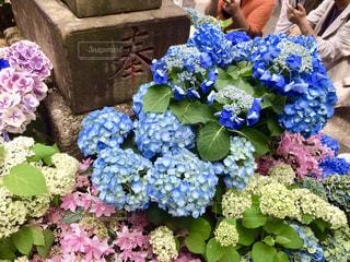 自然,花,屋外,植物,綺麗,あじさい,紫陽花,外,梅雨,アジサイ,キレイ