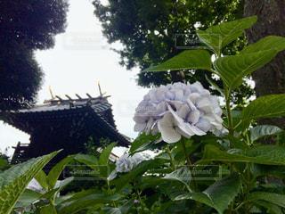 自然,花,屋外,植物,綺麗,あじさい,紫陽花,外,梅雨,寺,アジサイ,キレイ