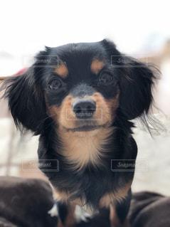 小さな黒い犬の写真・画像素材[982657]
