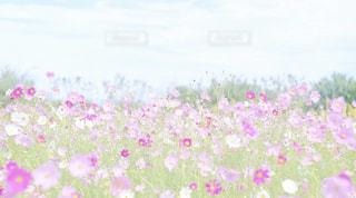 花,秋,コスモス,flower,昭和記念公園,flowers