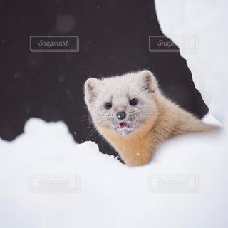 雪の中のエゾクロテンの写真・画像素材[725249]