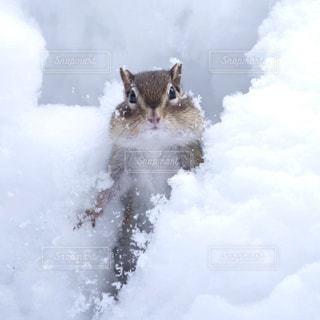 雪の中のエゾシマリスの写真・画像素材[725283]