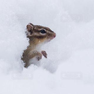 雪の中から顔を出すシマリスの写真・画像素材[727698]