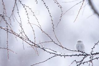 雪の中のシマエナガの写真・画像素材[2276518]
