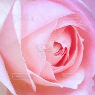 夢色薔薇色の写真・画像素材[1818620]