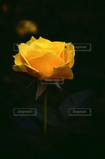 花,黄色,一輪,薔薇,幸せ,ローズ,イエロー