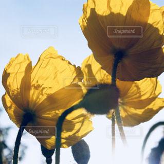 花,春,黄色,花びら,光,ポピー,幸せ,イエロー