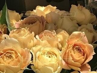 黄薔薇はいかがの写真・画像素材[1827143]