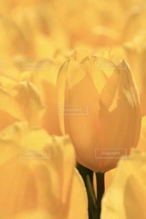 花,春,黄色,チューリップ,光,幸せ,イエロー