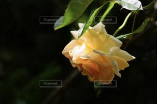 花,春,黄色,光,薔薇,幸せ,ローズ,イエロー