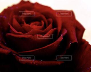 薔薇に きらり との写真・画像素材[2137491]