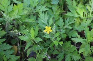 一輪の黄色い花の写真・画像素材[1223676]