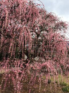 枝垂れ梅の写真・画像素材[4391562]