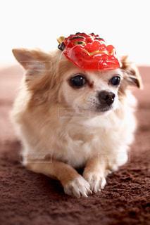 節分犬の写真・画像素材[978767]