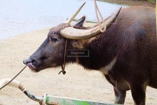 動物,沖縄,水牛,ツノ