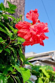 花,屋外,赤,晴天,ハイビスカス,沖縄