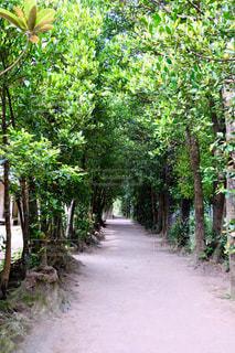 木,屋外,緑,晴天,沖縄,フクギ並木道